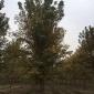 苗圃直销 美国红枫秋火焰小苗 优质美国红枫 高品质 美国红枫种植