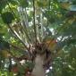 定制10-20公分法桐小苗 造型法桐树价格 行道树绿化 法桐原生冠小苗厂家