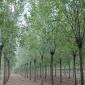 速生白蜡移栽 原生冠白蜡 山东速生白蜡 园林绿化苗木种植 耐寒白蜡